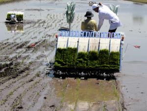 Ҳукумат қарори: шоличилик кластерлари ташкил этилади