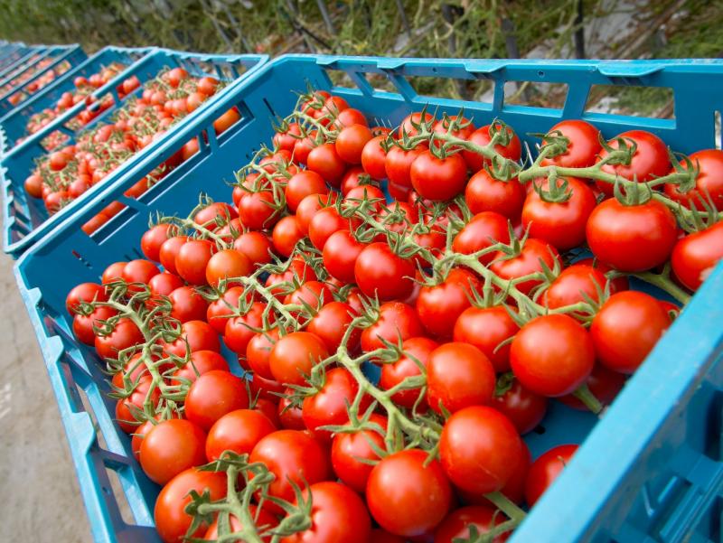 Россия Ўзбекистон помидори импортига қўйилган тақиқни юмшатди