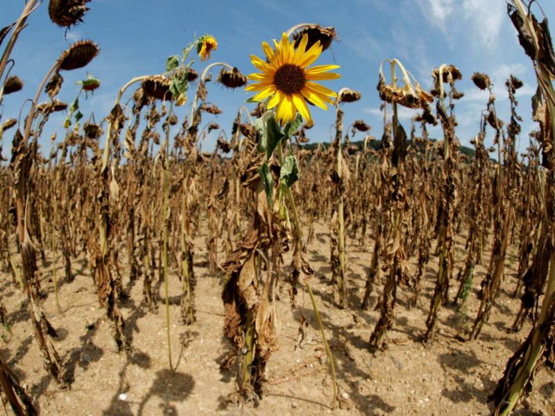 Vazirlik anomal issiqda ekinlarni saqlab qolish bo'yicha tavsiyalar berdi