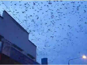 Австралия осмонини миллионлаб кўршапалак қоплади (видео)