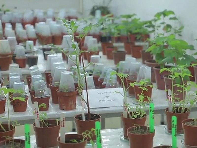 O'zbekiston olimlari koronavirusga qarshi pomidor-vaksina yetishtirishni boshladi