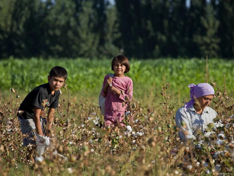 """Ҳокимларнинг пахтага аралашиши мажбурий меҳнатга олиб келмоқда – """"Cotton Campaign"""""""