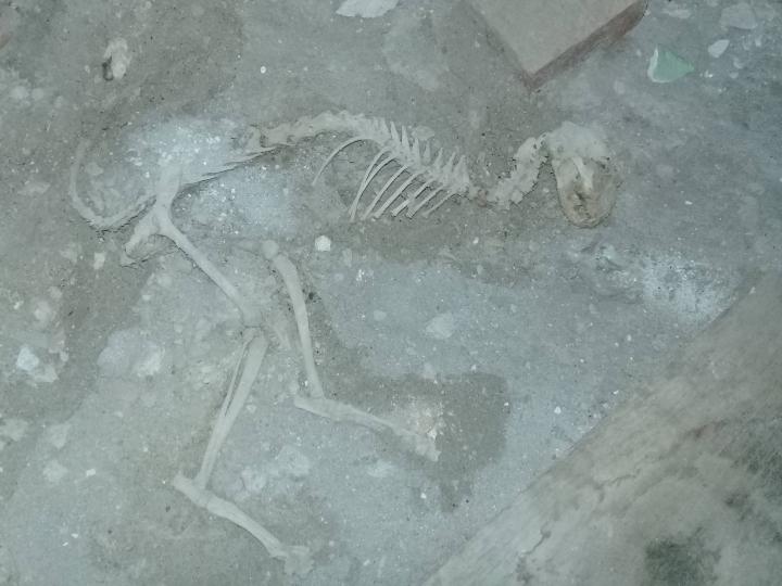 Риштонда топилган суяклар динозаврникимиди? Эксперт жавоб берди